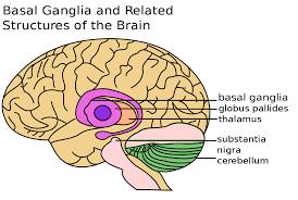 عقده های قاعده ای Basal Ganglia آناتومی مغز انسان