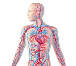آناتومی انسان دستگاه گردش خون