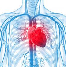 قلب انسان human hearth آناتومی قلب انسان