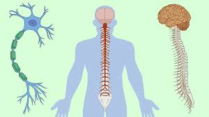 سیستم عصبی Nervous System فیزیولوژی عصب