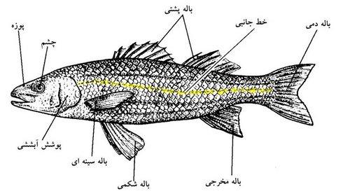 نقش و چگونگی عمل انواع باله در ماهی ها به همراه انواع باله ها باله ماهی انواع باله باله سینه ای باله شکمی باله پشتی باله چربی باله دمی پیش راندن و کنترل حرکتی ماهی باله و تولید مثل